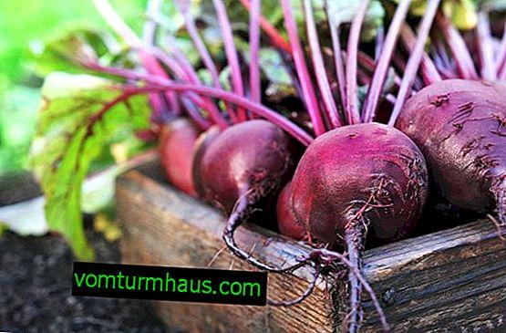 Rødbeder: plantning og pleje i det åbne jord