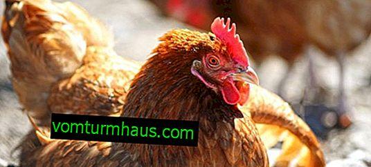 Mareks sjukdom hos kycklingar: symtom och behandling