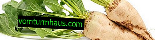 Sugar beet: description, benefits and harms, growing technology