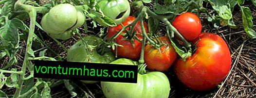 "Tomaten ""Mongolischer Zwerg"": Eigenschaften, Merkmale des Anbaus"