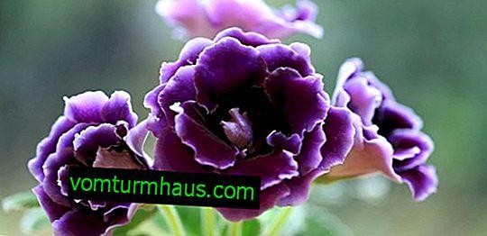 Značajke sadnje i uzgoja gloxinia iz sjemena kod kuće