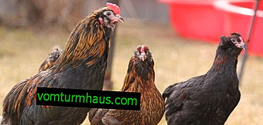 Araucan chickens: characteristics, maintenance and care