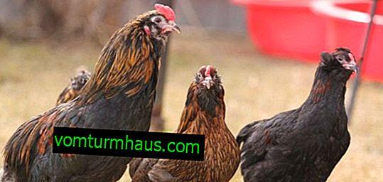 Kurczaki arabskie: charakterystyka, utrzymanie i opieka