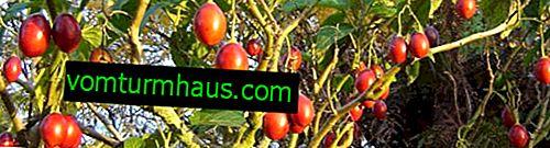 Jak pěstovat rajčatový strom doma