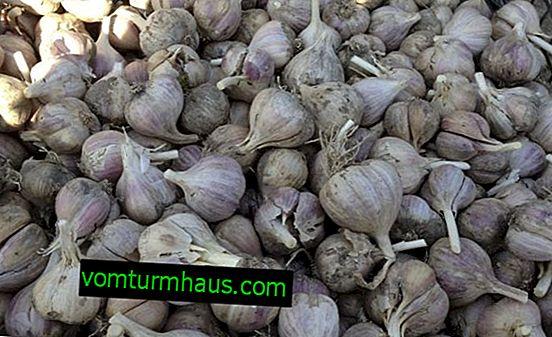 """Zimní česnek """"Lyubasha"""": popis, pěstování zemědělské techniky"""