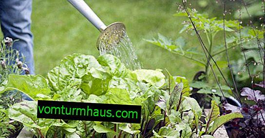 Značilnosti hranjenja in zalivanja pese v juliju in avgustu