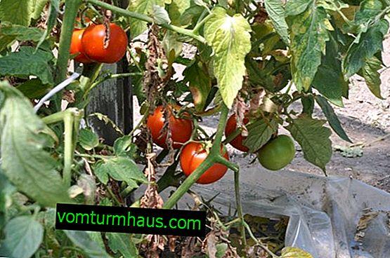 Jak se vypořádat s pozdní plísní na rajčatech s lidovými prostředky ve skleníku