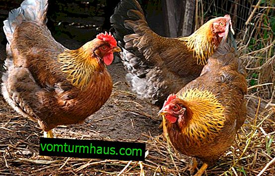 Hens Welsummer: description, maintenance and care