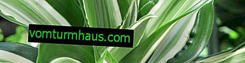 """Dracaena """"Compacto"""": descripción, reproducción, cultivo y cuidado en el hogar."""