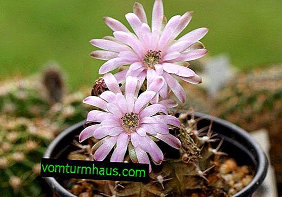 Gymnocalycium: คำอธิบายของ houseplant และดูแลบ้าน