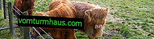 Mini-Kühe: Rassenbeschreibung, Zuchteigenschaften