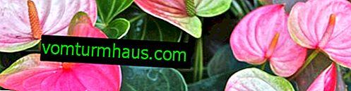 ¿Por qué no florece Anthurium y qué hacer con él?