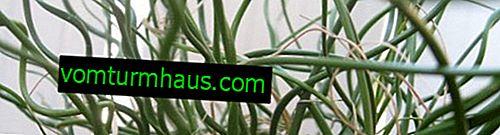 Juncus: Evde bakım