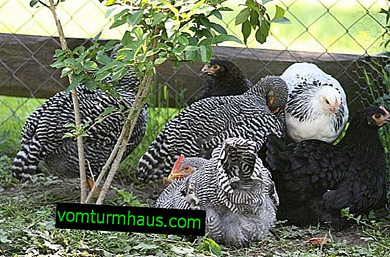 Amroks breed of chickens: characteristics, features of breeding at home
