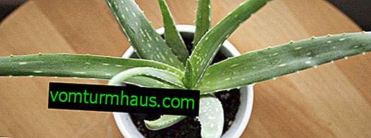 Wie oft und wie man zu Hause Aloe gießt