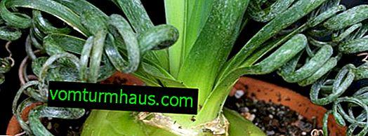 Albuque spiral: description, cultivation and care at home