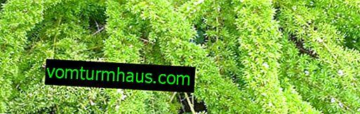 Asparagus Meyer: Cuidados en el hogar