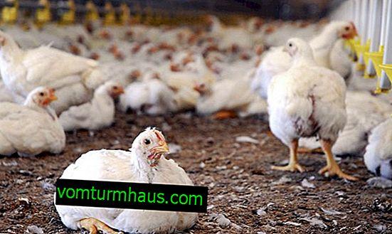 Diarré hos kycklingar: orsaker, symtom och behandling