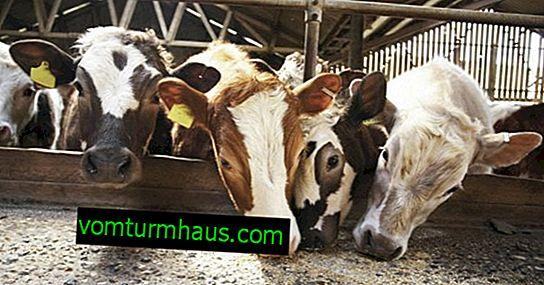Comment nourrir une vache après le vêlage à la maison