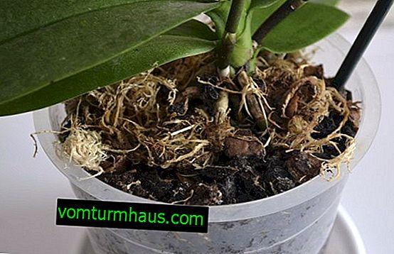 Какъв трябва да бъде съставът и как да направите почвата за орхидеи със собствените си ръце?