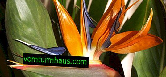 Kwiat Royal Strelitzia: opieka domowa