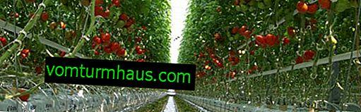 Hvad man får tomater i drivhuset til at rødme hurtigere