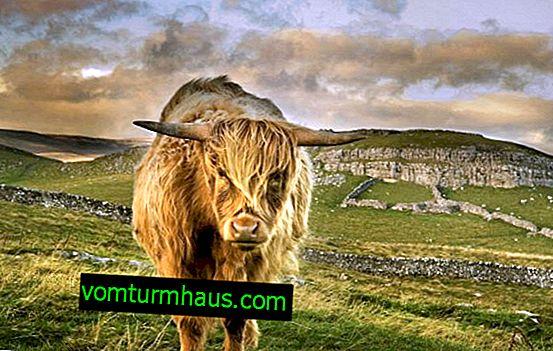 Highland Mini krave: funkcija, nega in hranjenje