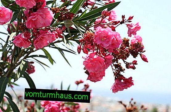 Oleander: pleje og vokse derhjemme