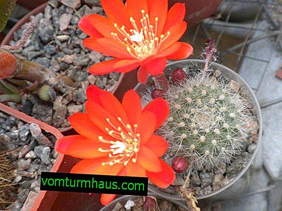 Cactus Rebucia: Домашни грижи