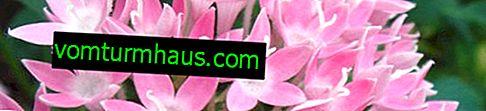 Pentas blomma: hur man bryr sig hemma