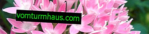 Květina Pentas: jak se starat doma
