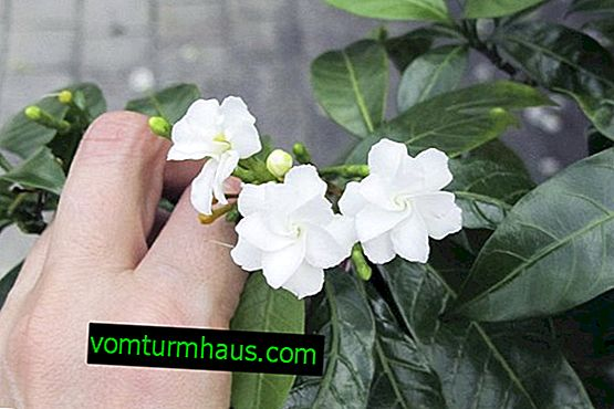 Tabernemontana flower: home care