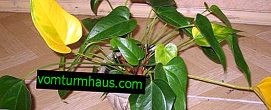 Proč Anthurium listy zžloutnou a jak zacházet s květinou