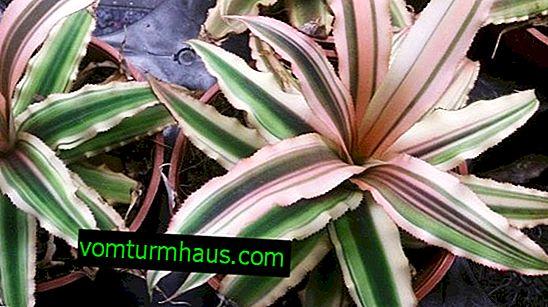 Cryptanthus Flower: Hemvård
