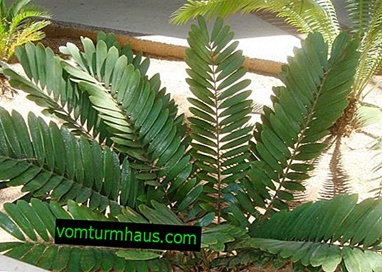 Zamia flower: home care