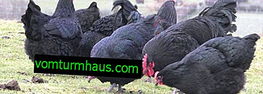Hens australorp: characteristics, features of breeding at home