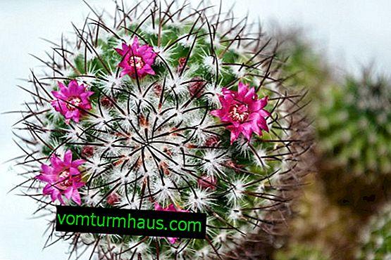 Come prendersi cura di un cactus mammillaria a casa