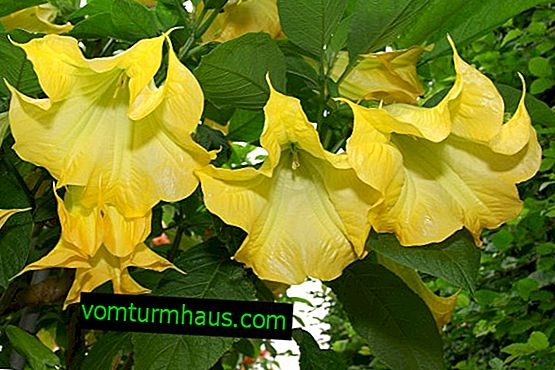 Brugmansia: description, planting, growing and care at home
