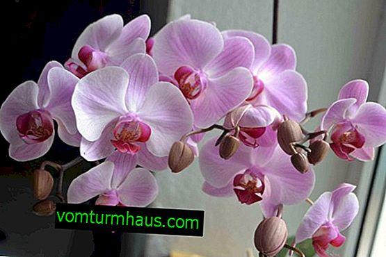 Dendrobium kvet: domáca starostlivosť