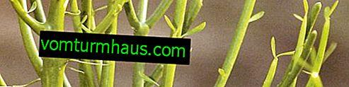 Euphorbia tirucalli: opieka domowa