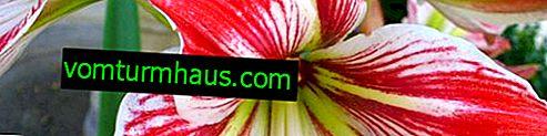 Zakaj hipeastrum ne cveti in kaj je treba storiti doma?
