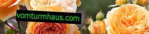 Engelska rosor: beskrivning, funktioner för vård och växande