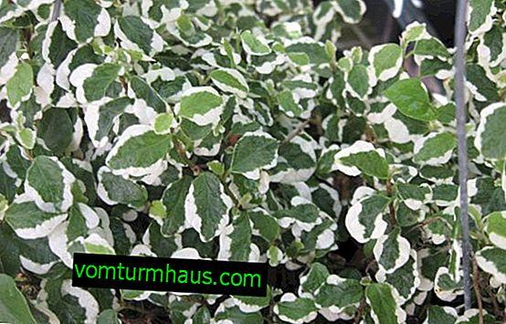 Ficus cumila: hemvård