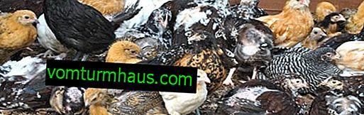 Den kyckling av den dominanta: deras egenskaper och funktioner för avel