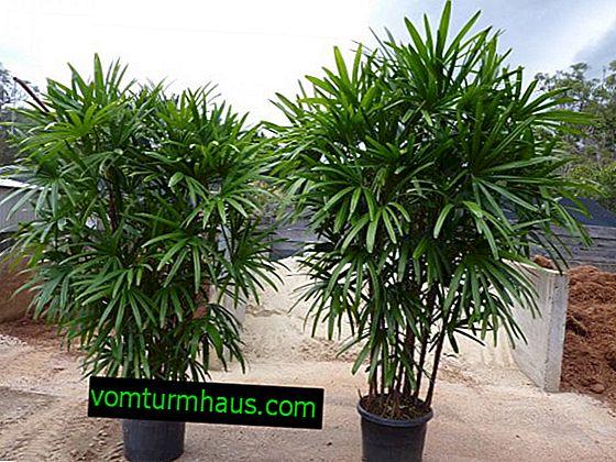Indoor Palm Rapis: Häusliche Pflege