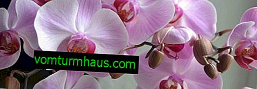 Diseases and pests of phalaenopsis orchids: methods for their treatment and elimination