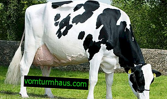 Dutch breed of dairy cows: description, care and feeding