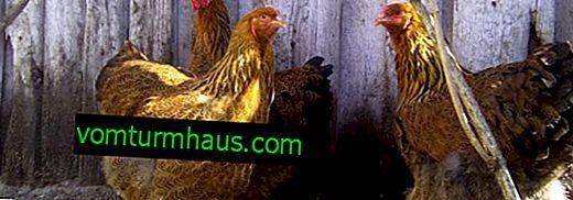 Kurczaki drobiowe: charakterystyka, opieka i karmienie