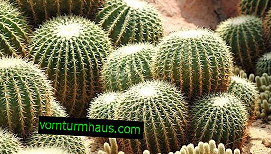 Wie man Echinocactus gruzoni zu Hause pflegt