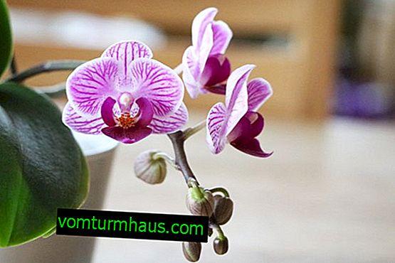 Que faire si le phalaenopsis ne fleurit pas?